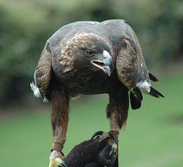 Орёл беркут